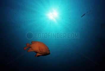 Garibaldi damselfish swimming in a Kelp Forest