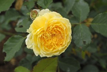 Rose 'Molineux' in a garden