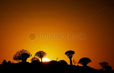 Quiver trees silhouettes at sunrise Namibia