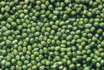 Seeds of Soybean