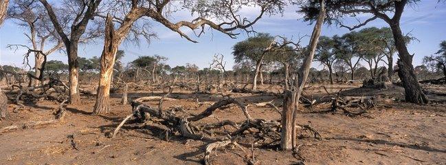 Savana devastated by Elephants Khwai Botswana