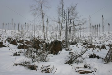 Chablis due to a storm in a spruce forest in winter