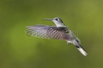 Grey-breasted Sabrewing in hovering flight Venezuela