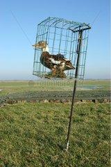 Canard appelant utilisé pour la chasse aux canards sauvages