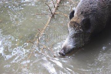 Eurasian Wild Pig in water Basel Switzerland