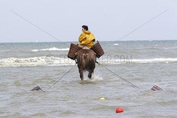 Fisherman shrimp on horseback in Oostduinkerke Belgium