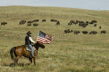 Cowboy at Bison Roundup Custer State Park Black Hills USA