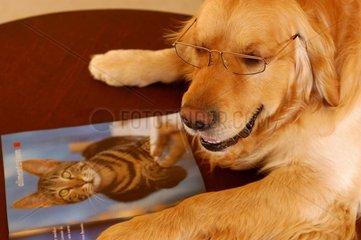 Golden Retriver avec lunette près journal pour chat