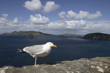 Herring Gull and overview on the Blask island Ireland