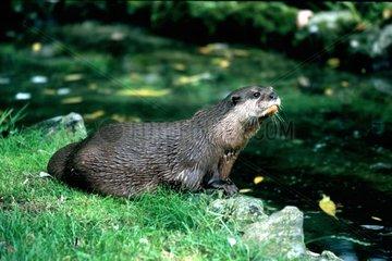 Loutre européenne au centre Otter Trust Norfolk UK