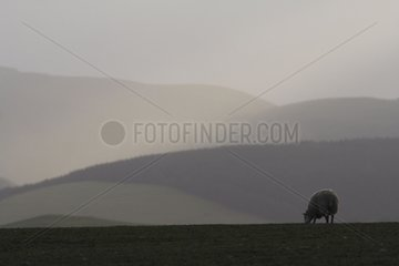 Landscape with domestic sheep in winter Welsh hills