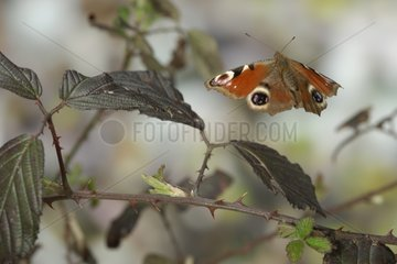 Peacock Butterfly in flight in the brambles in the Vosges