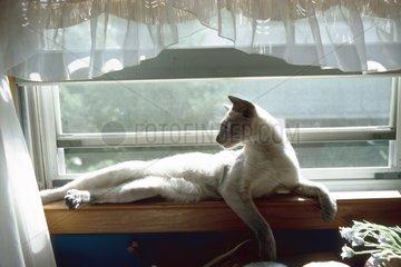 Chat Siamois se reposant devant une fenêtre France