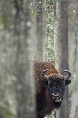European bison in undergrowth in winter Bialowieza Poland