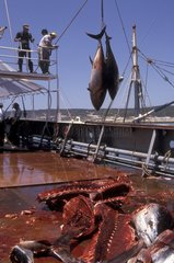 Découpe des Thons pêchés à la madrague Andalousie