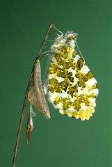 Aurore sortant de sa chrysalide au printemps