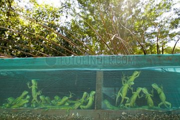 Young iguanas locked up in latticed cases Mexico