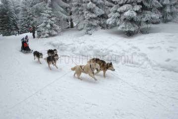 Sled dogs race at the Lac Blanc Haut-Rhin France