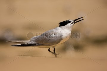 Sandwich Tern stamping on the hot sand Banc d'Arguin France