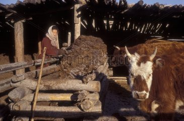 Woman drying of the dung of cow like fuel Mongolia