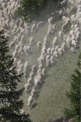 Seasonal migration of a large flock of Sheep Alps