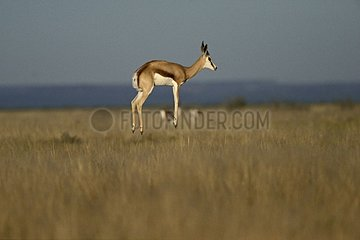 Spingbok jumping in savanna Etosha NP Namibia