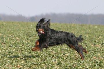 Setter Gordon running in a field France