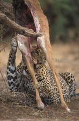 Leopard eating a suspended gazella Africa