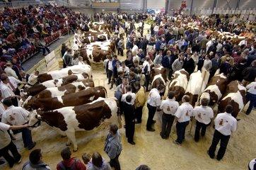 Contest of Montbéliarde cows Fair of Besancon Doubs