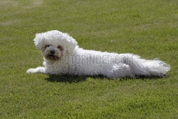 Bichon frise lying in the grass France