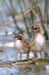 Chicks of Whiskered Tern on nest on a pond Sologne