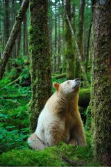 Kermode bear sitting in the wet temperate forest Canada