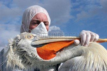 Capture et maitrise d'un Pélican pour vaccination anti-H5N1