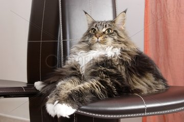 Maine Coon Cat in mid-long hair lying on a chair