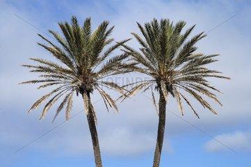 Twin palm trees Bonifacio Corsica France