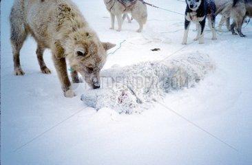Chien mort tué par les chiens d'un attelage Groenland
