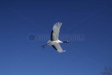 Red-crowned crane in flight Hokkaido Japan