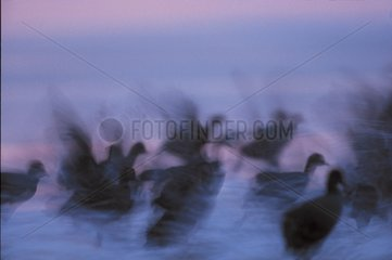 Common coots panic-stricken France