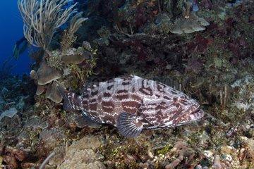 Mérou nageant près d'un récif corallien Belize