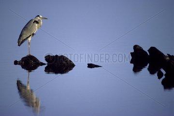 Grey Heron Pond of Casaraccio Sardinia Italy