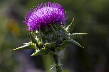 Capitulum of blessed milkthistle France