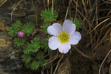 Scurvy grass sorrel flowers en rocks - Falkland Islands