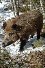 Wild boar in snow Latvia