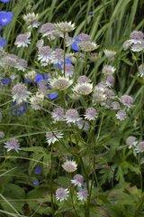 Grande Astrance et Géranium vivace en fleur Belgique