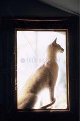 Chat Abbysin assis derrière une fenêtre France
