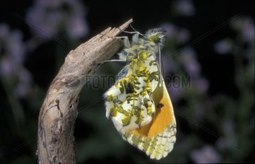 Eclosion d'un papillon Aurore mâle France