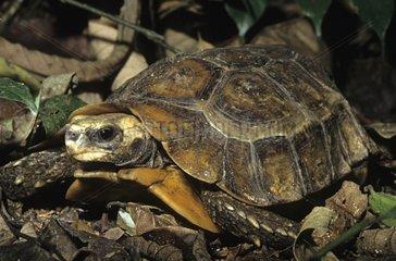 Home's Hinge-back Tortoise