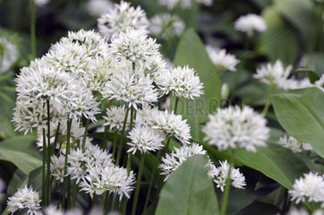 Ramsons in bloom in undergrowth in the Somme France