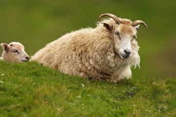 Sheep lying in the grass Shetland