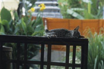 Striped gray kitten sleeping on a slope out of Kampuchea wooden